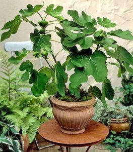 Как вырастить инжир красивое и плодородное фиговое дерево