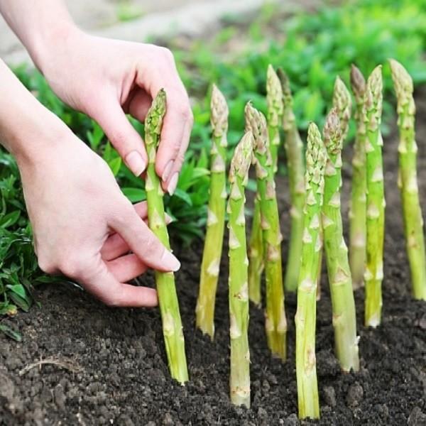 Выращивание спаржи - лучшего лакомства в нашем саду