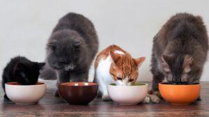 10 правил, как правильно кормить кошку