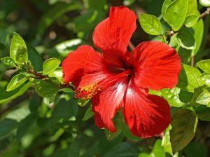 Выращивание гибискуса, виды и уход