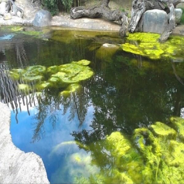 Как очистить искусственный пруд от водорослей своими руками