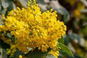 Какие растения выбрать для вечнозеленой живой изгороди
