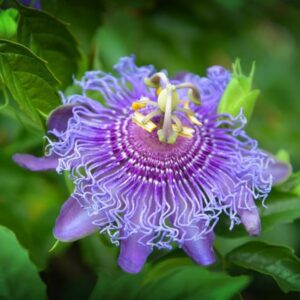 Маракуйя северная (Пассифлора инкарната) выращивание