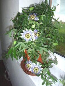 Выращивание маракуйи из семян в домашних условиях