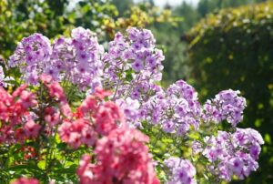 Флоксы выращивание и уход многолетников в саду