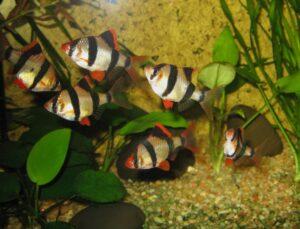 Лучшие аквариумные рыбки для начинающих