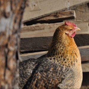 Породы кур - выберите курицу для своего двора