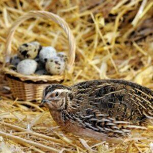 Разведение перепелов для яиц