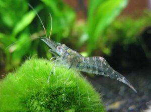 Разведение пресноводных креветок: малоизвестные питомцы из аквариума