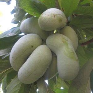 Вкусная экзотика: выращивание азимины (бананового дерева) в открытом грунте