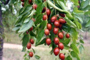 Выращивание зизифуса (жожоба, китайский финик) особенности и сорта