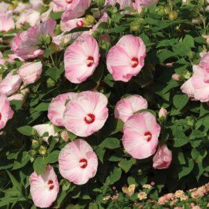 Гибискус травянистый садовый - правильное выращивание и уход