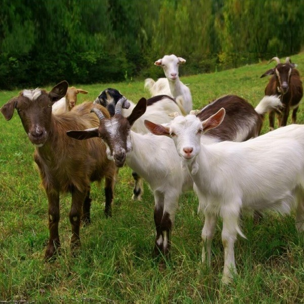 Породы коз выберите для себя лучшую