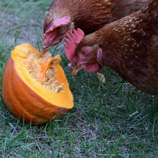 Правильное питание для кур - чем и как кормить