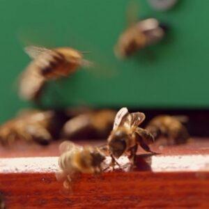 Разведение пчел в домашних условиях 2