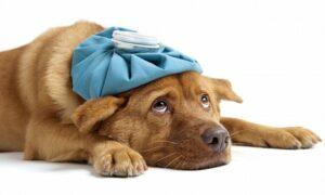 Собачий грипп - симптомы