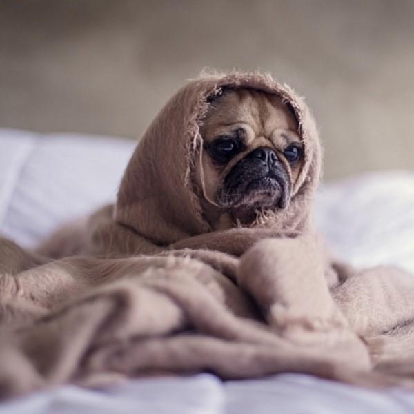 Собачий грипп - как распознать болезнь и лечить ее