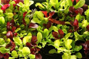 Вкусная и полезная микрозелень на нашем столе
