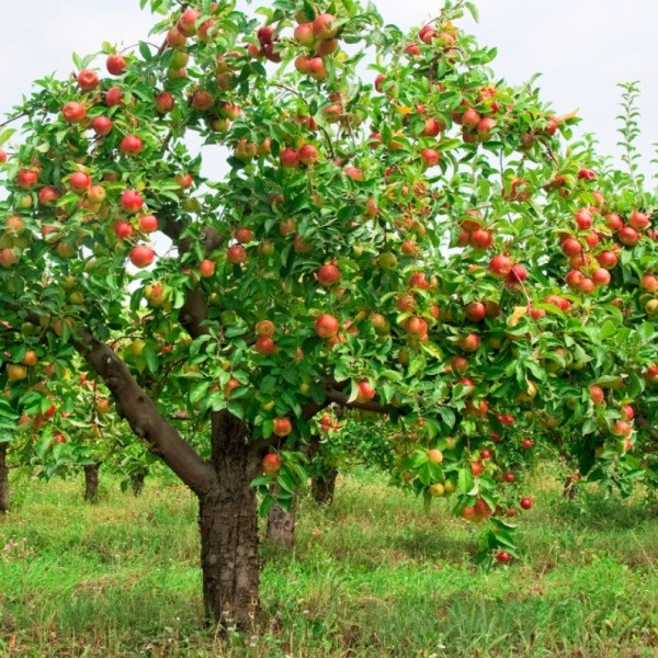 Выращивание яблони - полезные советы по уходу