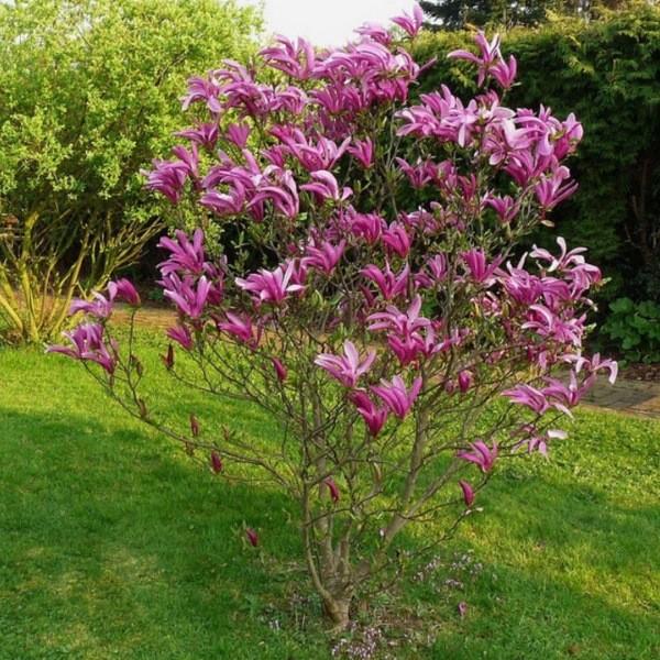 Выращивание магнолии - благородного украшения сада