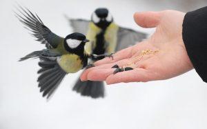 Чем кормить синичек: кормление птиц зимой