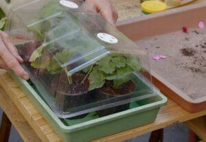 Черенкование герани - размножение и уход