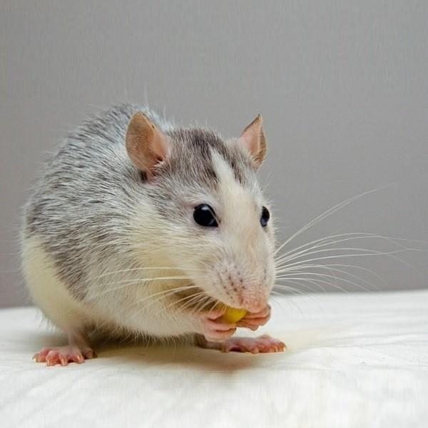 Домашняя крыса: чрезвычайно умное животное