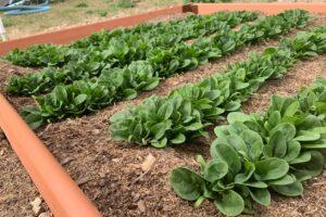 Выращивание шпината: сорта