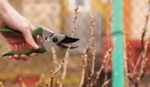 Размножение смородины черенками - что и как делать