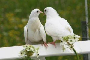 Разведение голубей как успешно выбрать племенную пару