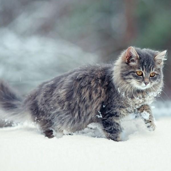 Уход за кошкой зимой - особенности содержания