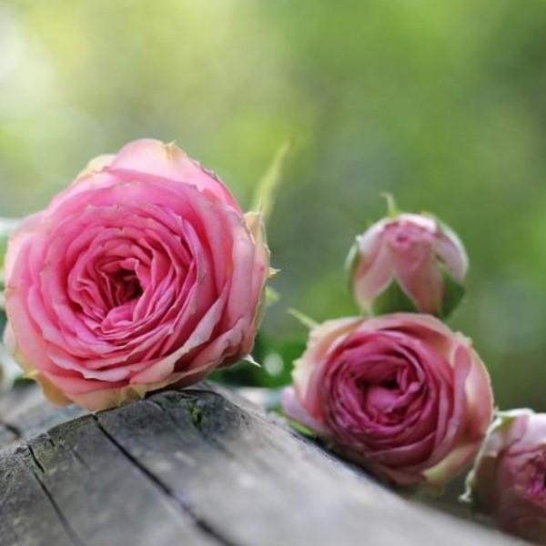 Уход за розами осенью: как подготовить к зиме