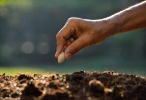 Как сеять фасоль