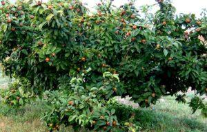 Происхождение и выращивание мишмулы