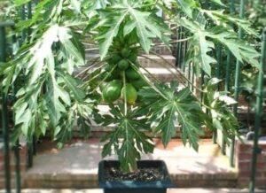 Выращивание папайи из семян
