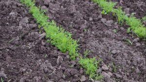 Выращивание укропа в огороде и на подоконнике