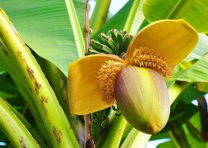 Когда цветет банан