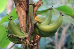 Уход за бананом