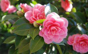 Кустарники с розовыми цветами – Камелия