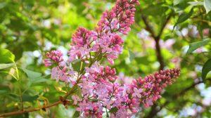 Кустарники с розовыми цветами – Сирень