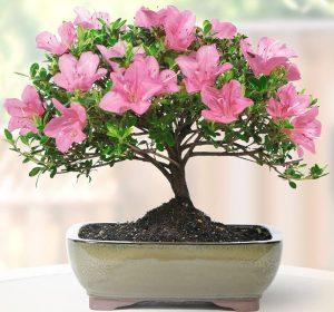 Лучшие комнатные растения для вашего дома - азалия