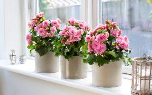 Лучшие комнатные растения для вашего дома - бегония