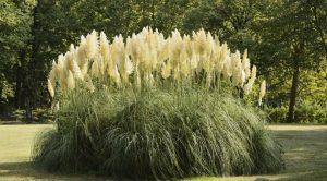 Пампасная трава - секрет выращивания