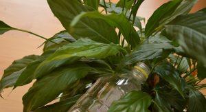 Пересадка комнатных растений шаг за шагом