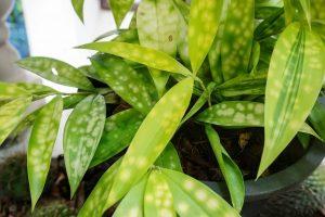 Почему желтеют листья у комнатных растений