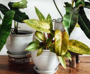 Почему желтеют листья у комнатных растений 3