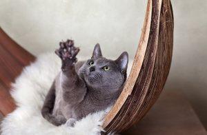 Международный стандарт русской голубой кошки