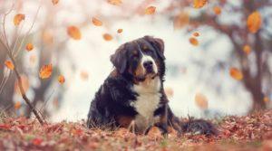 Собака бернский зенненхунд