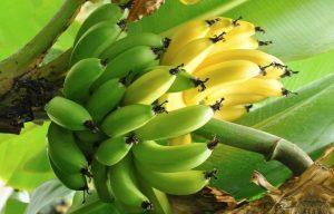 Выращивание комнатного банана