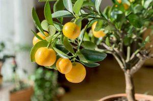 Цитрусовые растения - выращивание в домашних условиях
